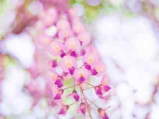 小清(qing)新好看的粉紅色紫藤(teng)蘿桌面壁紙