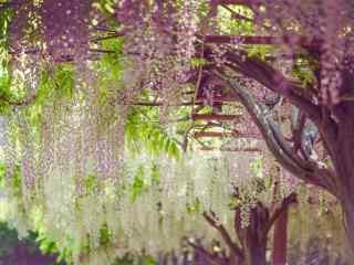 唯美文藝好看的紫藤(teng)蘿桌面壁紙