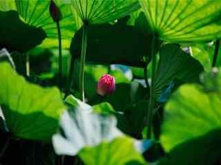 承德莲花池中的莲花壁纸