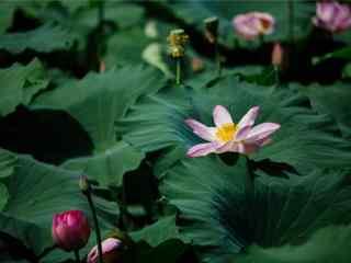 承德荷塘中的莲花唯美壁纸