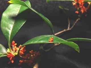 深秋桂花图片桌面壁纸