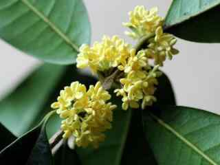 清新桂花树图片壁纸