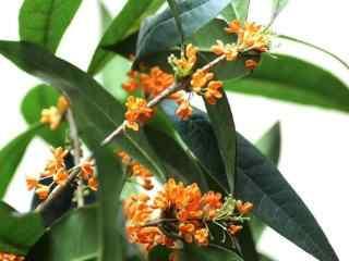 橘黃(huang)色的桂花(hua)圖片桌面壁紙