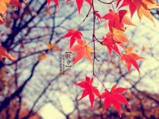 美丽的叶子之秋分节气桌面壁纸