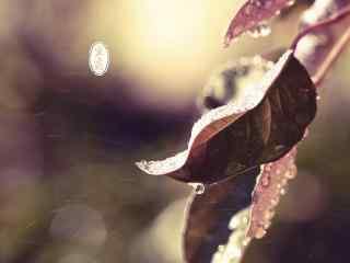 寒露节气之枯叶上的水珠桌面壁纸