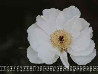 2018年7月日历壁纸清新白色花朵护眼壁纸