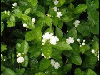 清新植物茉莉花唯美高清壁纸图片