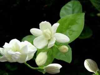 洁白芳香的茉莉花高清壁纸图片