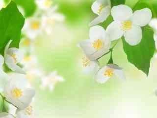 芬芳美丽茉莉花高清壁纸