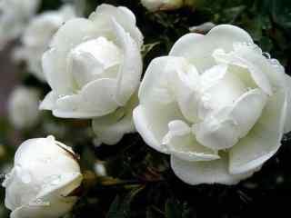 清新多瓣茉莉花花朵高清桌面壁纸