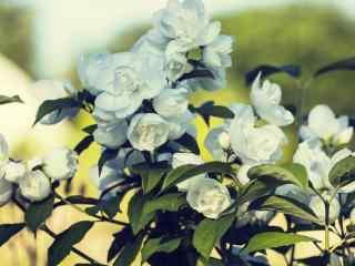 芬芳美丽茉莉花花