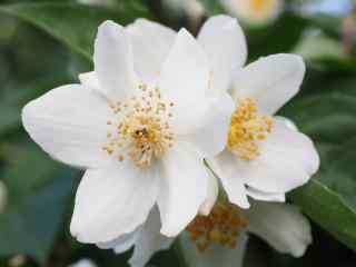 白色唯美茉莉花高