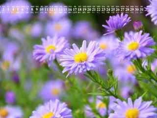 2018年8月日历壁纸紫色雏菊唯美护眼壁纸