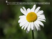 2018年8月日历壁纸雏菊花卉植物护眼壁纸