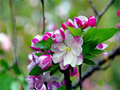 艳丽海棠开花近距