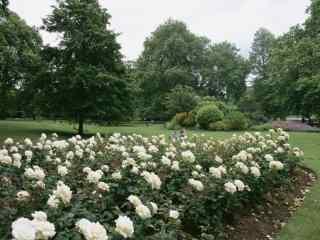 英国伦敦公园花丛