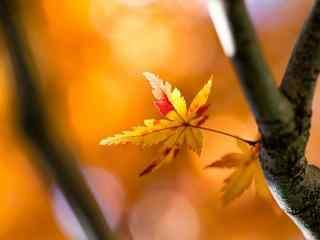 秋天简约唯美红色枫叶电脑桌面壁纸图片