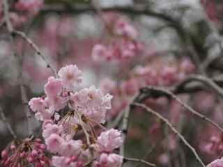 樱花盛开的季节桌面壁纸 第三辑