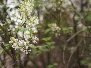 樱花盛开的季节桌面壁纸 第二辑