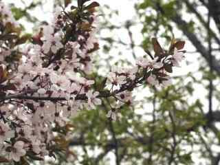樱花盛开的季节桌面壁纸 第八辑