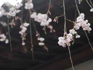 樱花盛开的季节桌面壁纸 第九辑