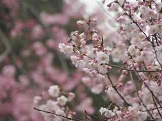 樱花盛开的季节桌面壁纸 第四辑