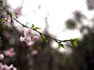樱花盛开的季节桌面壁纸 第一辑