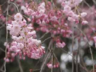 樱花盛开的季节桌面壁纸 第五辑