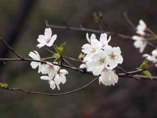 樱花盛开的季节桌面壁纸 第六辑