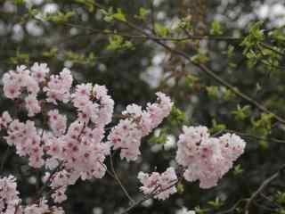 樱花盛开的季节桌面壁纸 第十辑