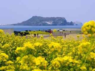 韩国济州岛之油菜花盛开的季节桌面壁纸