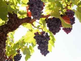 秋日瓜果丰收之葡萄水果高清桌面壁纸