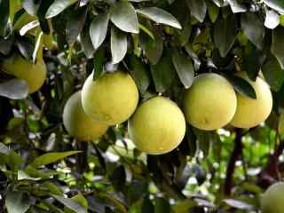 秋日瓜果丰收柚子水果高清桌面壁纸