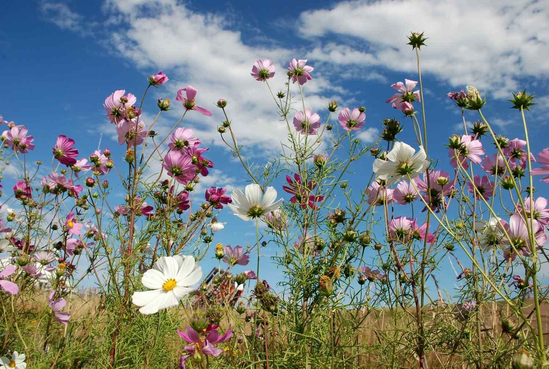 美丽的草原格桑花电脑壁纸高清图片
