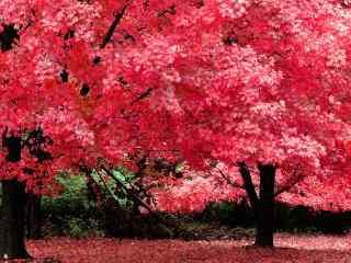 秋天红枫高清风景电脑桌面壁纸第一辑