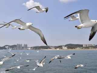 大连海鸟飞翔桌面壁纸