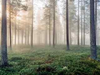 阳光穿过晨雾笼罩的芬兰树林桌面壁纸