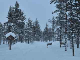 芬兰林中雪景动物自然风景桌面壁纸