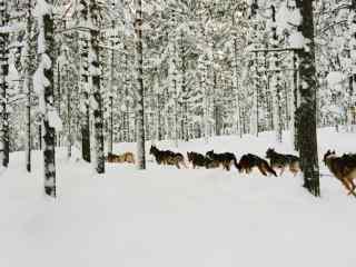 芬兰山林雪景桌面壁纸