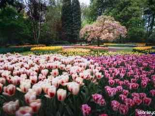 荷兰郁金香公园美丽风景桌面壁纸