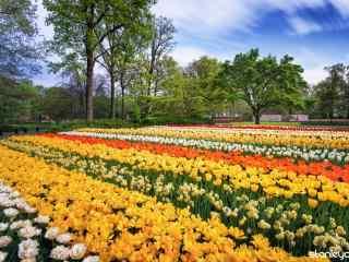 荷兰美丽的郁金香花海风景桌面壁纸