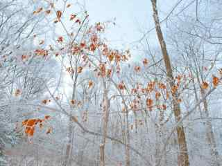 长白山唯美的雪中树木桌面壁纸