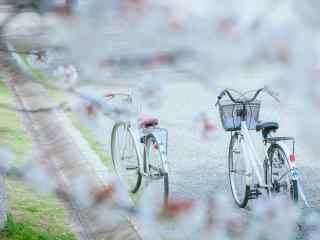 樱花树下的情侣单车桌面壁纸