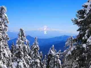 清新松树风景图片