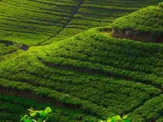 美丽的绿色茶园风景图片壁纸