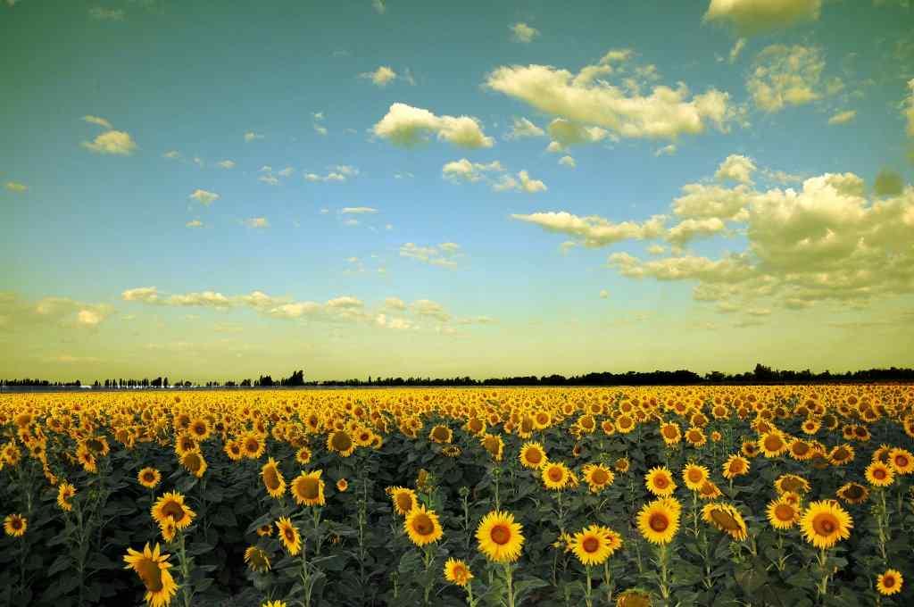 向日葵农场风景图片