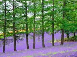 唯美的农场薰衣草风景图片桌面壁纸