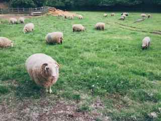可爱的农场小羊桌面壁纸