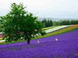 好看的薰衣草农场风景图片