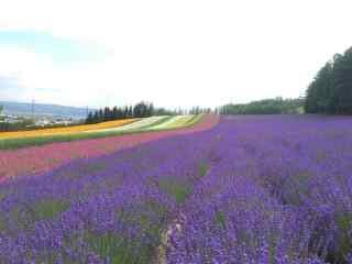 唯美的薰衣草农场风景图片